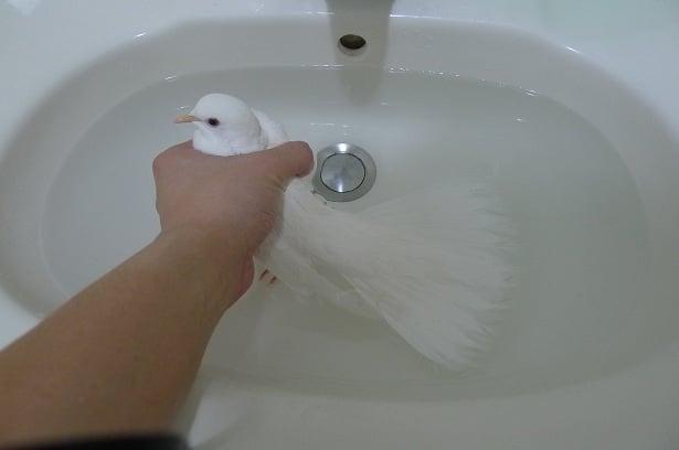 班鳩除蟲洗澡