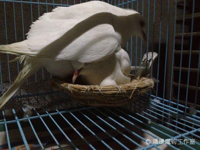 母班鳩搶孵蛋