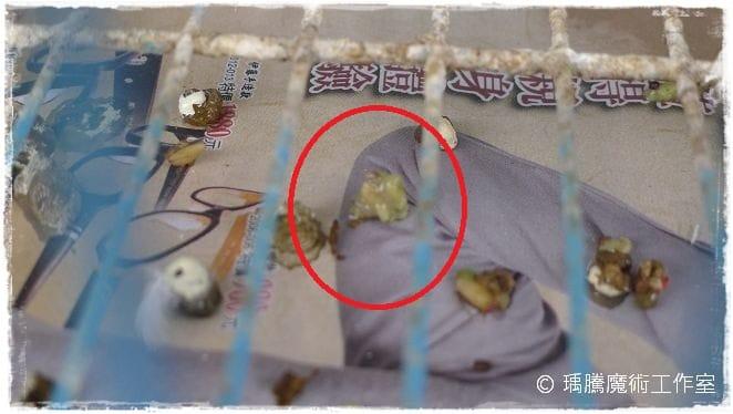 班鳩幼鳥的照顧-026